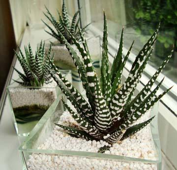 Zebra-Cactus