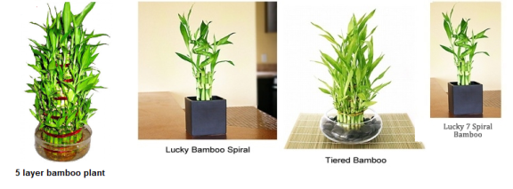 Bamboo plants types
