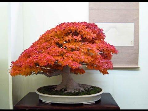 Japanese maple bonsai plants